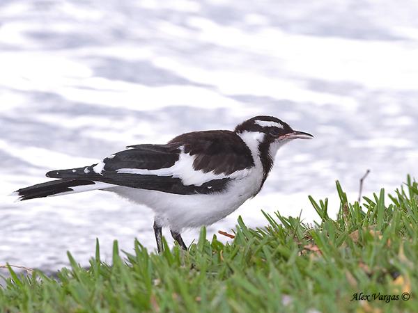 Magpie-lark juvenile by Alex Vargas