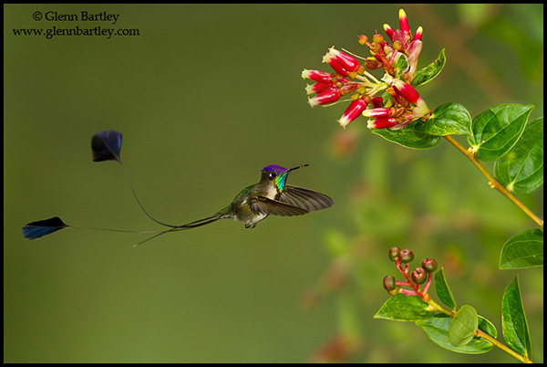 Marvelous Spatuletail (Loddigesia mirabilis) flying while feeding at a flower in Peru.