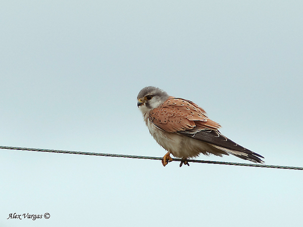 Nankeen Kestrel by Alex Vargas