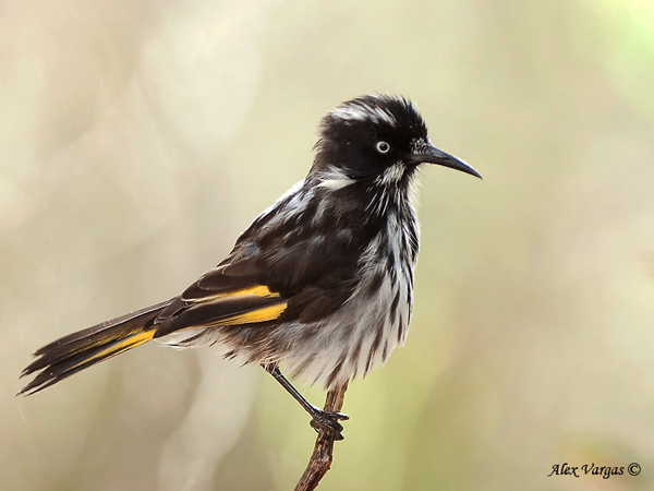 New Holland Honeyeater by Alex Vargas