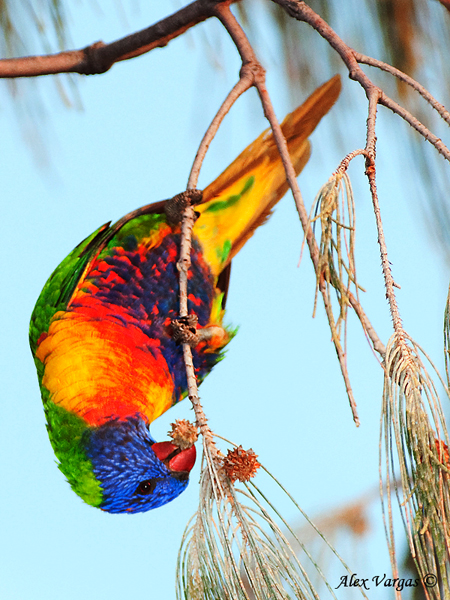 Rainbow Lorikeet by Alex Vargas