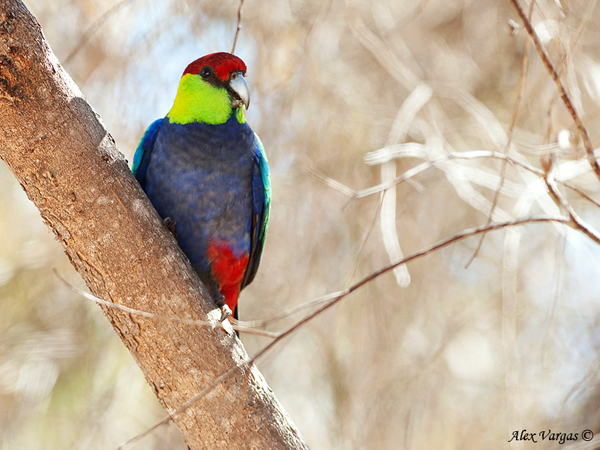 Red-capped Parrot at Stirling Range Retreat by Alex Vargas