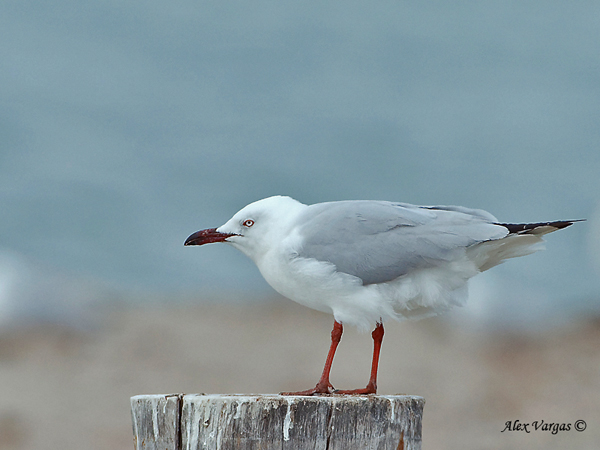 Silver Gull by Alex Vargas