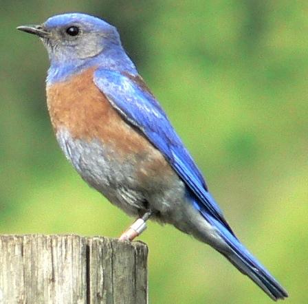 Western Bluebird. Walter Siegmund