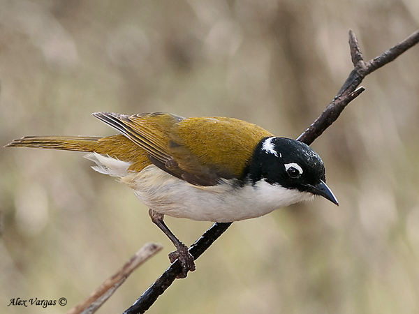 White-naped Honeyeater by Alex Vargas