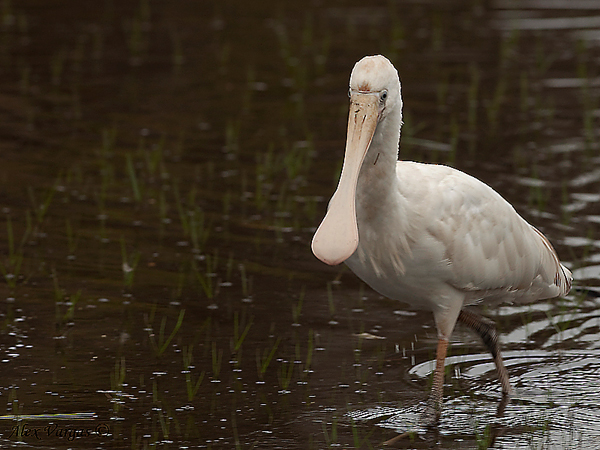 Yellow-billed Spoonbill by Alex Vargas