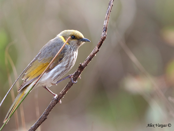 Yellow-plumed Honeyeater by Alex Vargas