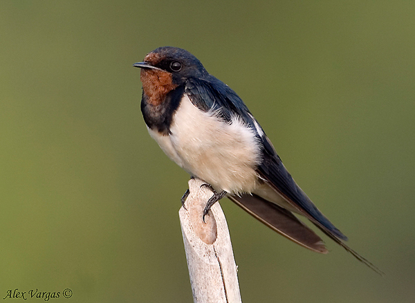 Barn Swallow by Alex Vargas