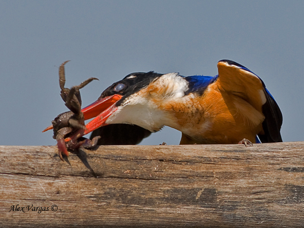 Black-capped Kingfisher - beating the crab by Alex Vargas