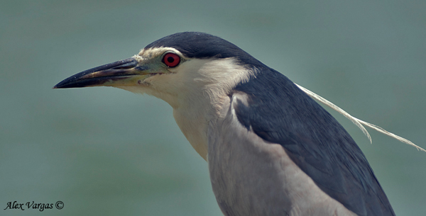 Black-crowned Night-Heron - portrait in breed by Alex Vargas