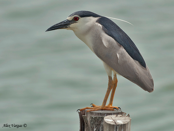 Black-crowned Night-Heron by Alex Vargas