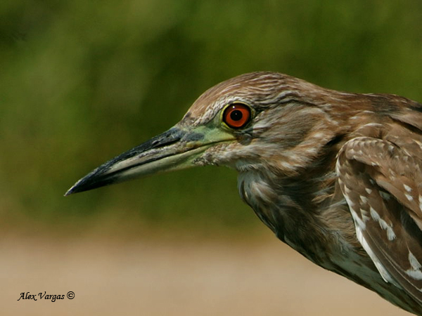 Black-crowned Night-Heron - juvenile by Alex Vargas