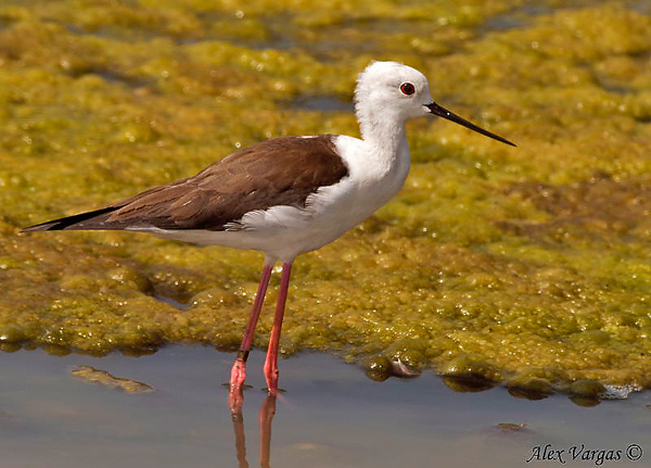 Black-winged Stilt by Alex Vargas