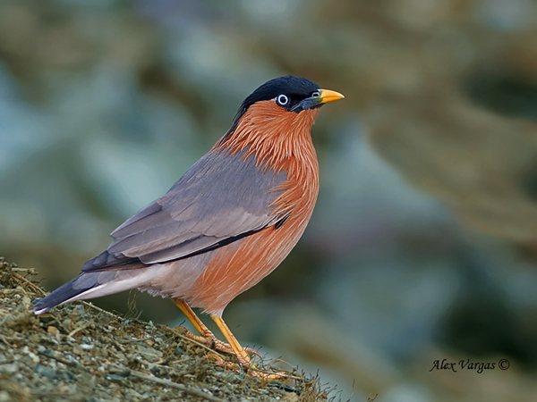Brahminy Starling by Alex Vargas