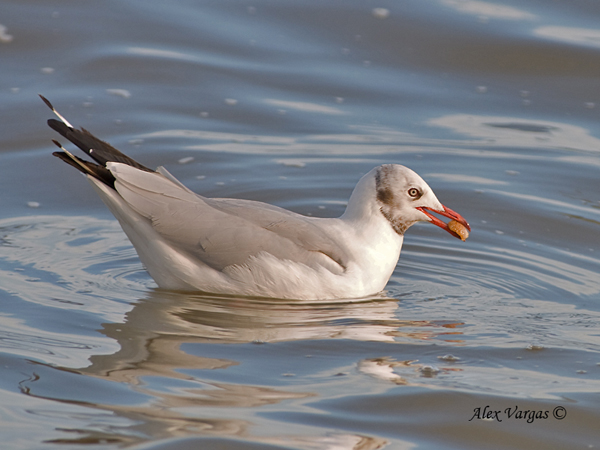 Brown-headed Gull - molting by Alex vargas