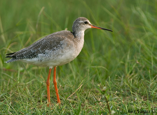 Common Redshank - in the grass by Alex Vargas