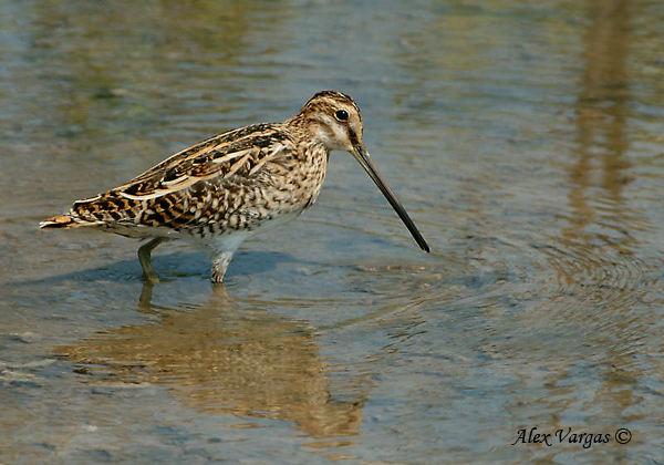 Common Snipe by Alex Vargas