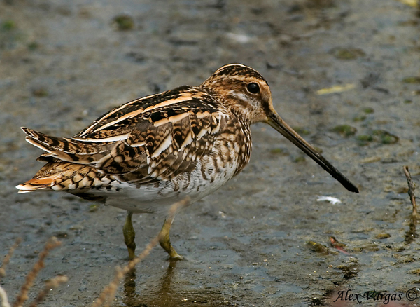 Common Snipe - look back by Alex Vargas