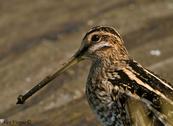 Common-Snipe-portrait by Alex Vargas, Thailand 2009
