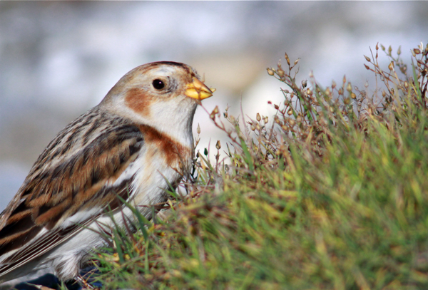 Post image for Snow Bunting
