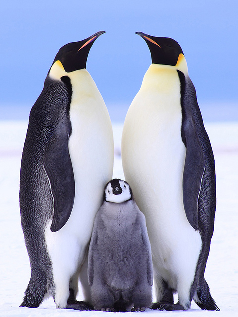 Emperor Penguin family Anne Froehlich