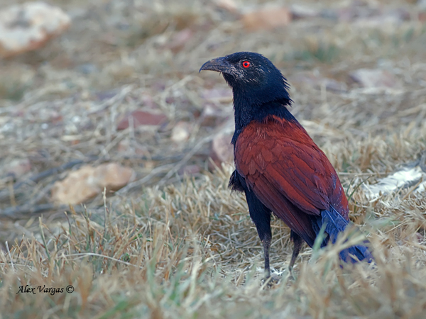 Greater Coucal - dirty by Alex Vargas