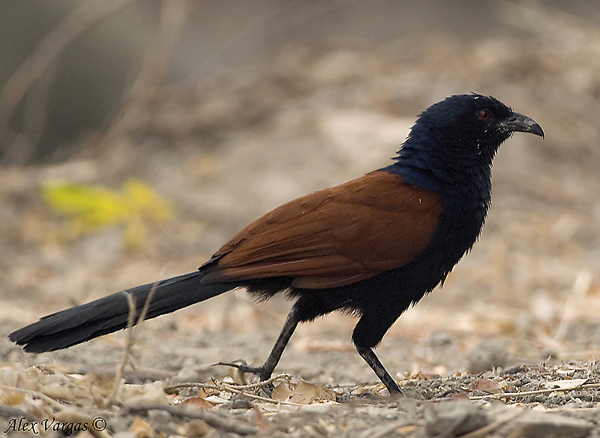 Greater Coucal by Alex Vargas
