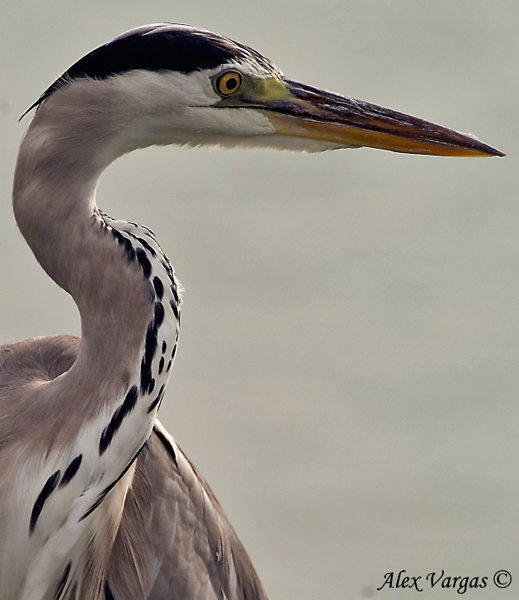 Grey Heron - portait by Alex Vargas