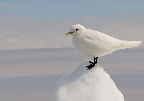 Ivory Gull Jomillo75 on flickr