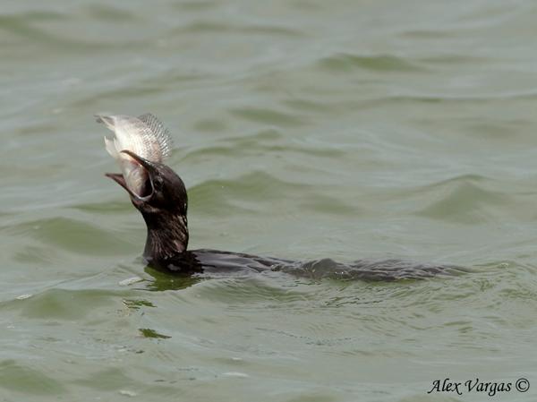 Little Cormorant - prey by Alex Vargas
