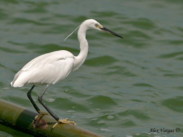 Little Egret - breed by Alex Vargas