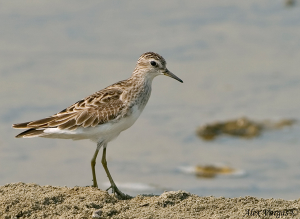 Long-toed Stint - non breed by Alex Vargas