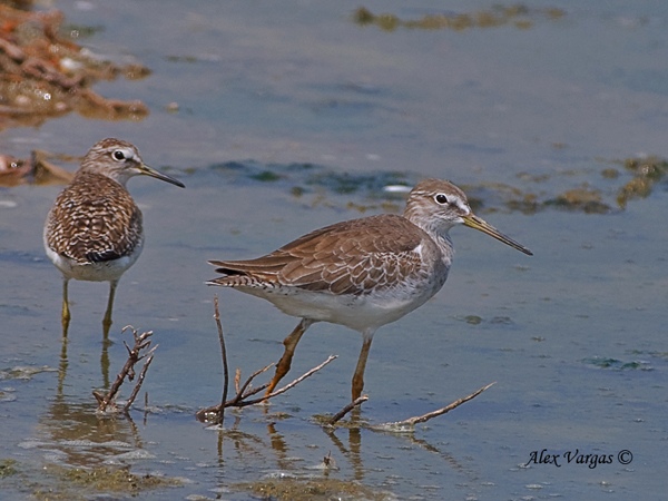Marsh + Wood Sandpipers by Alex Vargas