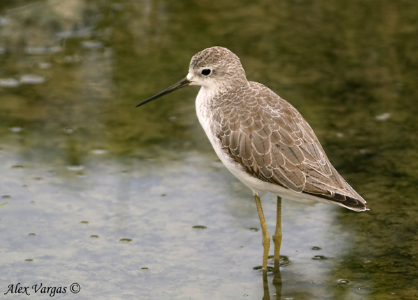 Marsh Sandpiper by Alex Vargas