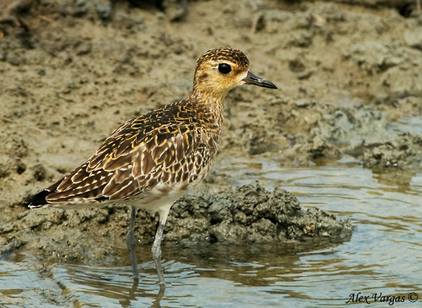 Pacific Golden Plover - non breed by Alex Vargas
