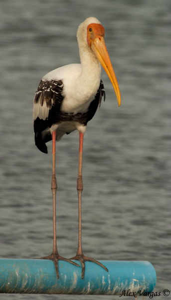 Painted Stork by Alex Vargas