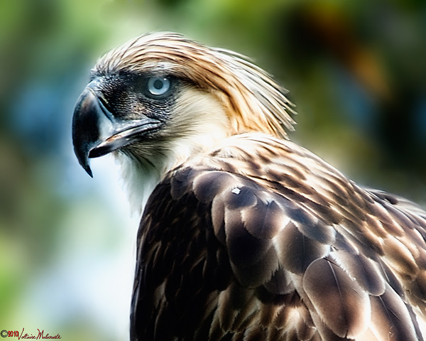 Philippine Eagle. Bird World Cup winner. Photo: Voltaire Malazarte