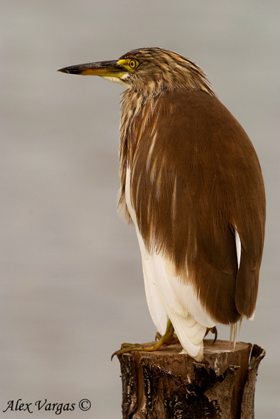 Pond-Heron - non breed by Alex Vargas