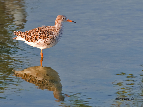 Ruff - female - non breed by Alex Vargas