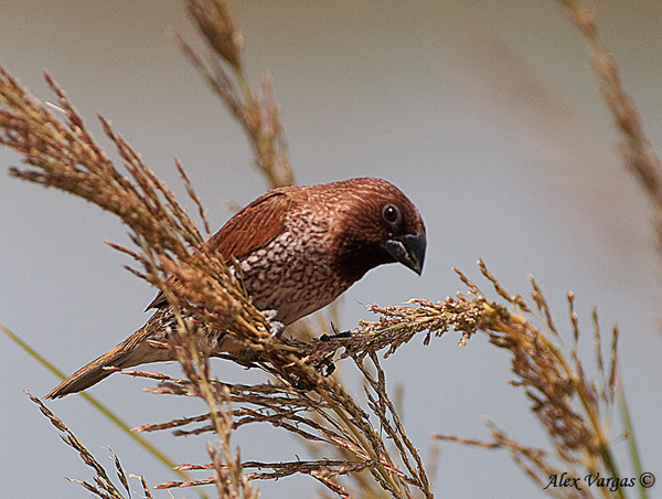 Scaly-breasted Munia by Alex Vargas