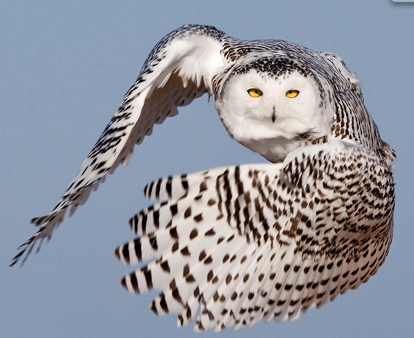 Snowy Owl Photo copyright: John Afdem