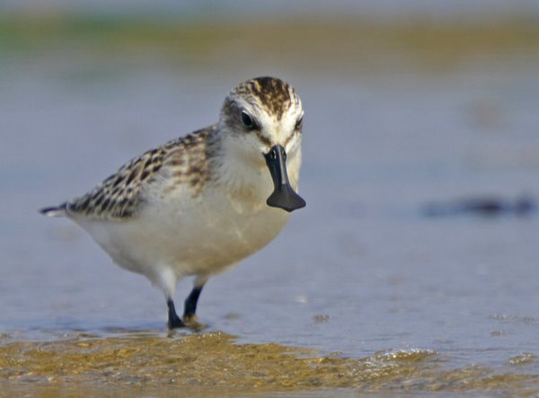 Spoon-billed Sandpiper by nKenji