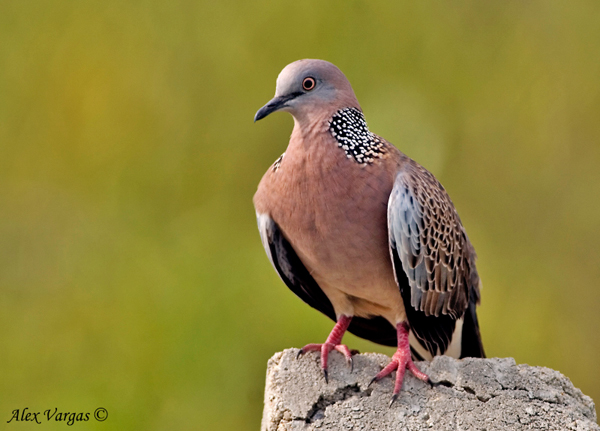Spotted Dove by Alex Vargas