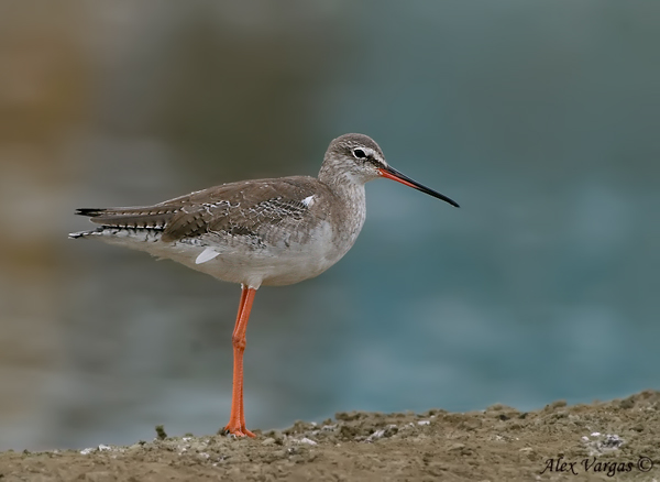 Spotted Redshank - non breed by Alex Vargas