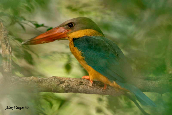 Stork-billed Kingfisher by Alex Vargas