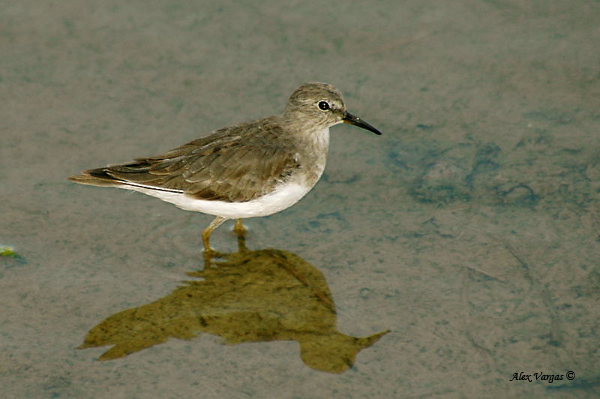 Temminck's Stint - non breed by Alex Vargas