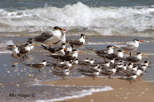 Terns and Gulls - Sand Pit sampler by Alex Vargas
