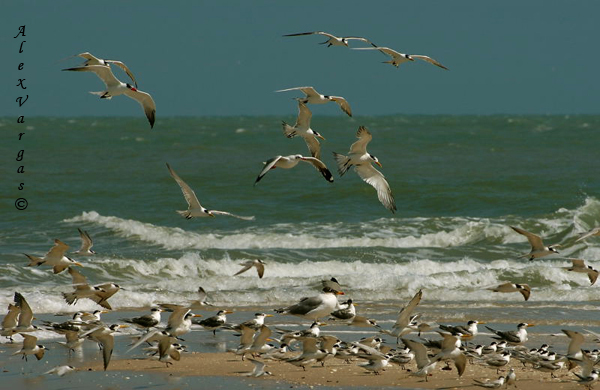 Terns and Gulls - Sand Spit LPB by Alex Vargas