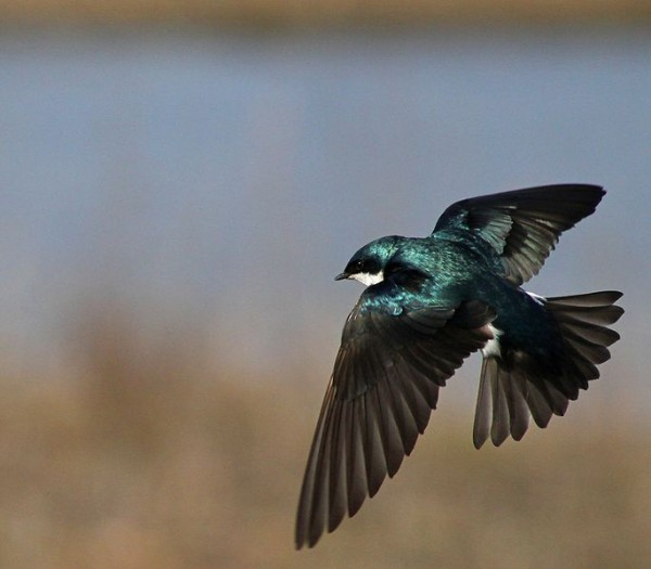 Post image for Journal Club: The economics of tree swallow brood sex ratios