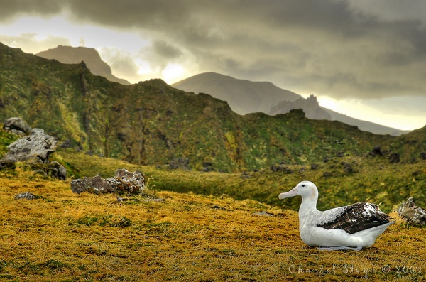 Wandering Albatross Chantal Steyn